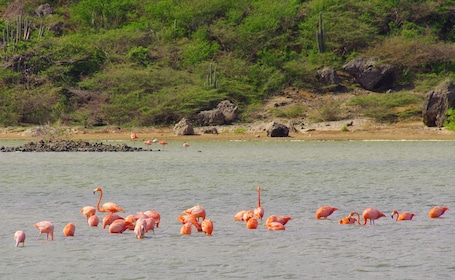 Flock of flamingos in waters around Curacao