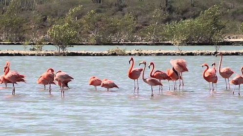 Flock of flamingos standing in shallows in Curacao