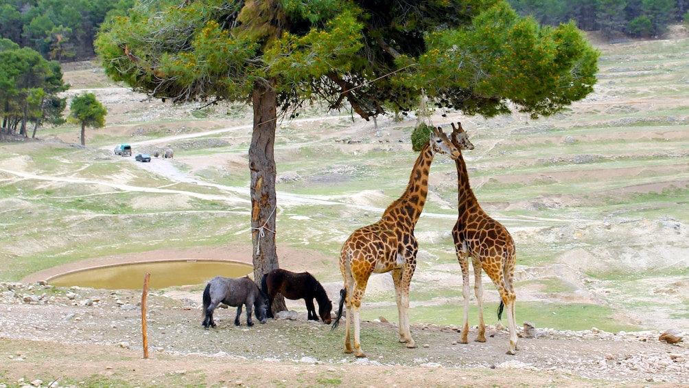Show item 4 of 5. Giraffes and ponies in Costa Blanca