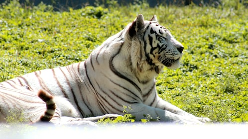 White tiger lays out in sun at zoo in Guadalajara