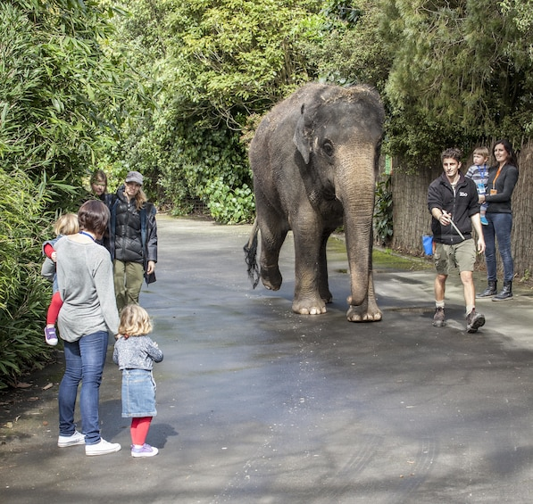 Elephant walking past tourists at Auckland Zoo