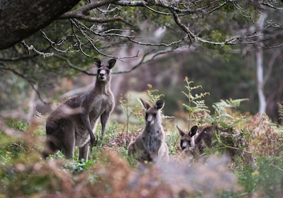 Wildlife - Blue Mountains, Kangaroos in the wild, Destination NSW.jpg