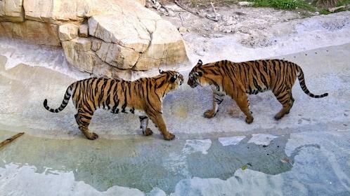 Tigers at Terra Natura Benidorm