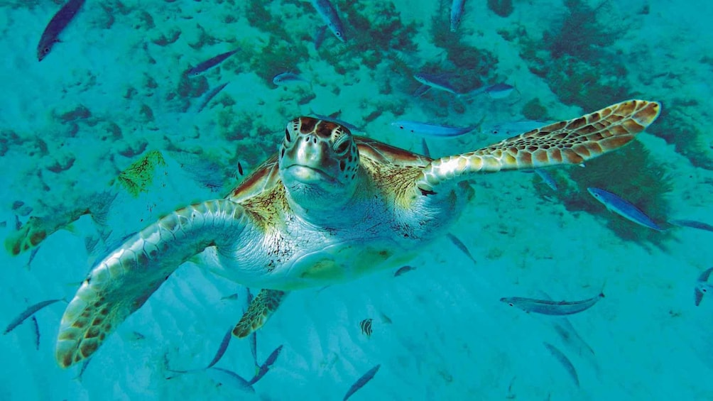Show item 4 of 5. Turtle adventure in Barbados