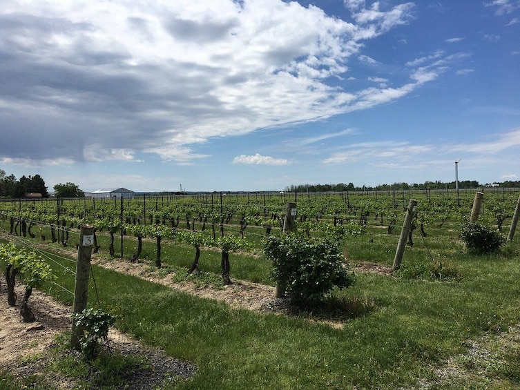 Show item 2 of 8. Niagara Winery Tour from Toronto - Full day