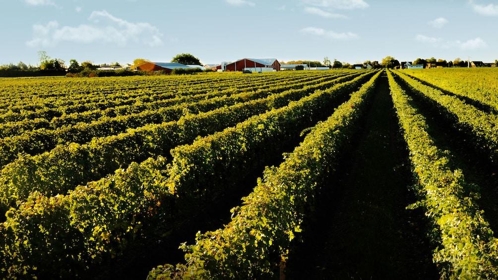 Show item 1 of 8. Vineyard in Niagara