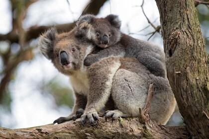 Koalas GOR sunset.jpg