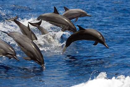 Dolphins jumping out of the water along the Kona Coast
