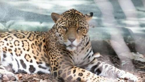 Jaguar at the Audubon Zoo