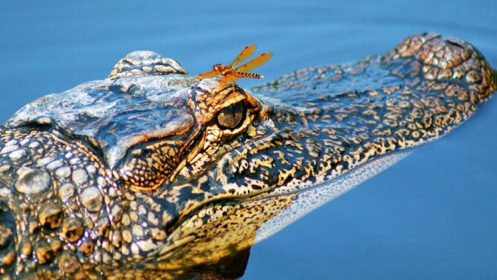Öppna foto 3 av 10. Alligator in New Orleans