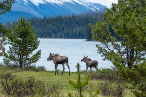 Maligne Valley Sightseeing & Guided Lakeshore Hike