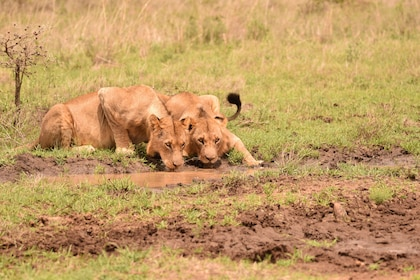 Lions drinking water at Nairobi National Park