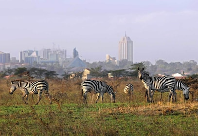 Herd of zebra at Nairobi National Park