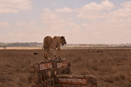 Lion at Nairobi National Park