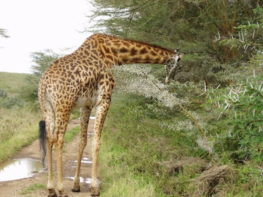 Giraffe at Nairobi National Park