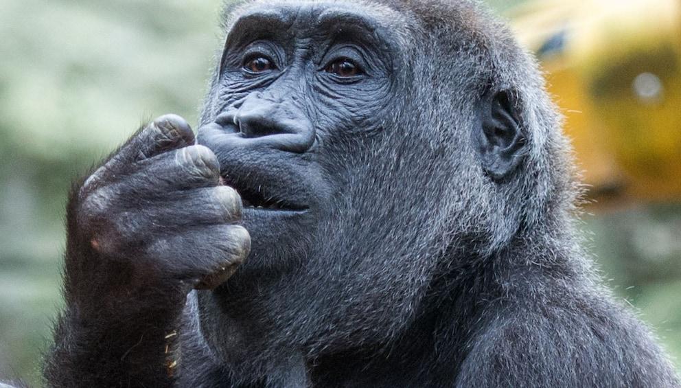 Show item 3 of 10. Western lowland gorilla at Chessington World of Adventures Resort