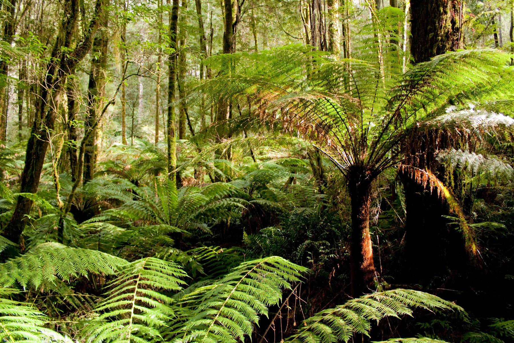 Otway Rainforest.jpg