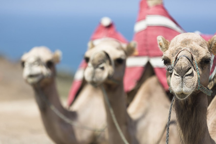 Camel ride at palm grove
