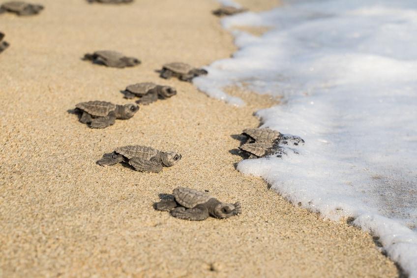 Show item 4 of 10. Bioluminescence & liberation of sea turtles