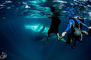 Humpback Whale Swim Tour at Ningaloo