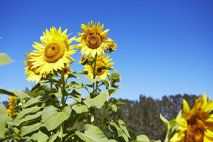 Show item 3 of 8. Sunflowers in Hunter Valley