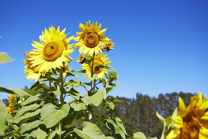 Sunflowers in Hunter Valley