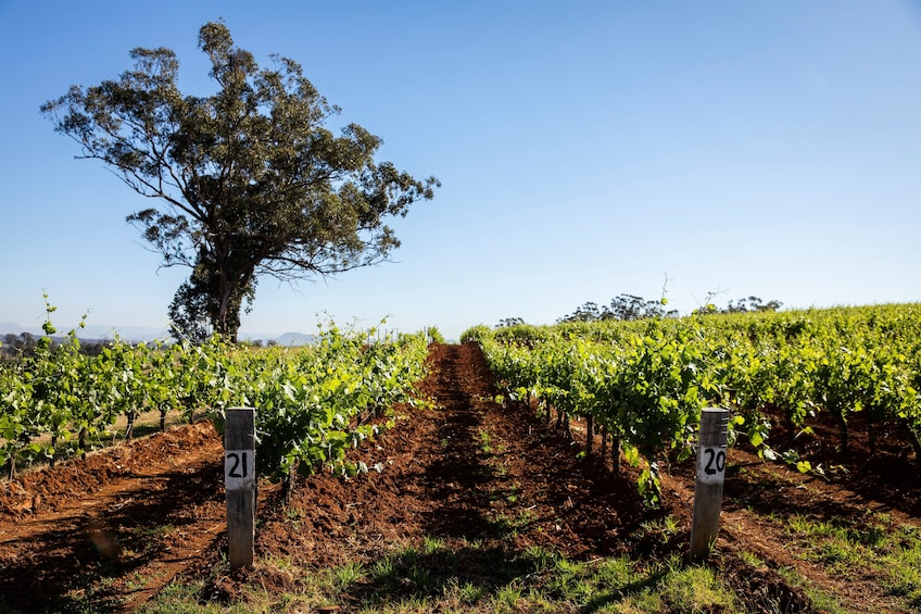 Hunter Valley Wine Cheese Tour in Small-Groups from Sydney
