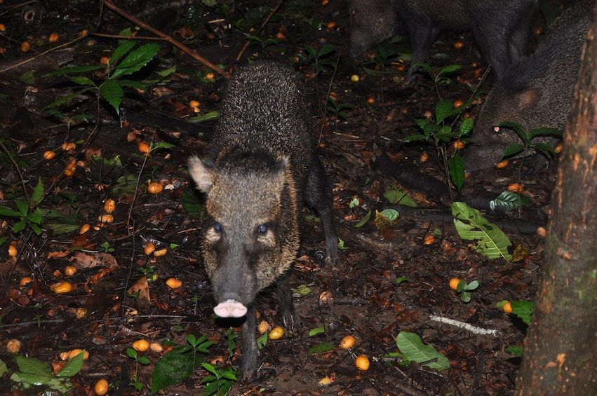 Show item 1 of 3. Boar in Corcovado National Park