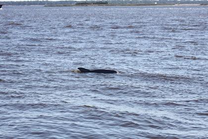 Porpoise in Charleston Harbor in South Carolina