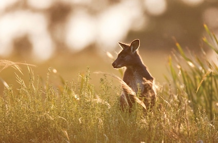 Kangaroo in a field in Melbourne