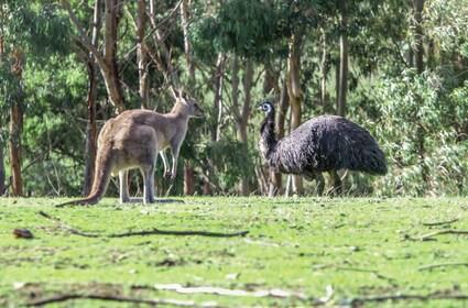 Kangaroo and emu having a meeting in Australia