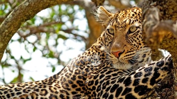 Leopard Safari at Yala from Galle including lunch