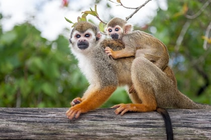 Monkey mom and baby at Monkeyland in Punta Cana