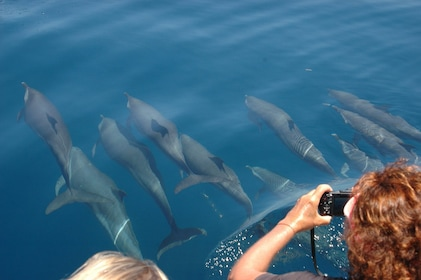 Dolphins swimming in Guadeloupe