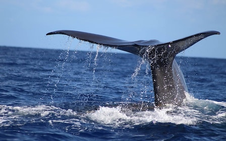 Whale tail in the waters of Guadeloupe