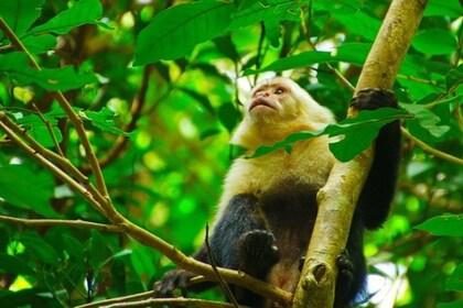 Monkey - Rincon de la Vieja National Park 2 - Native's Way Costa Rica - Tamarindo Tours.jpg