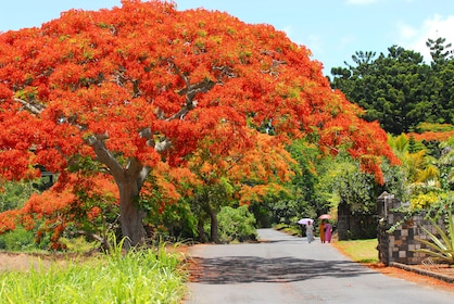 Beautiful flowering trees and walking path in Mauritius