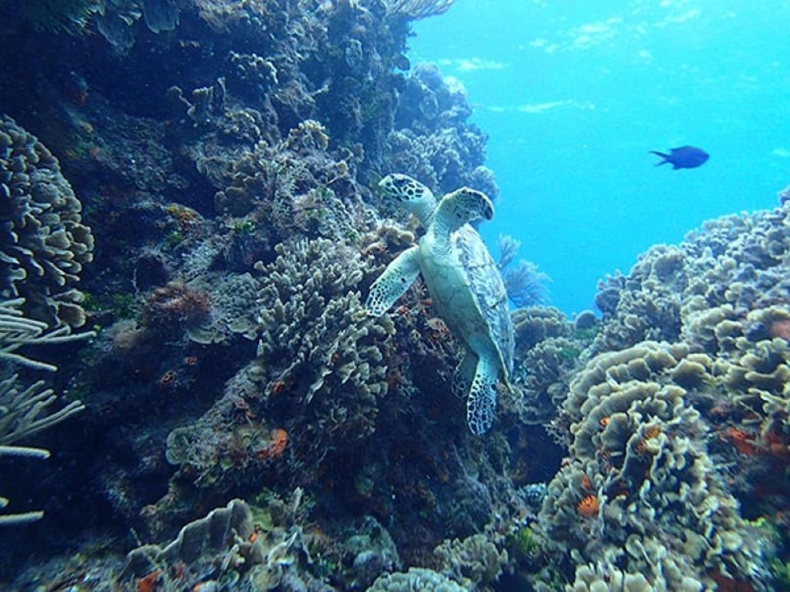 Turtle swimming around coral reef in Cozumel