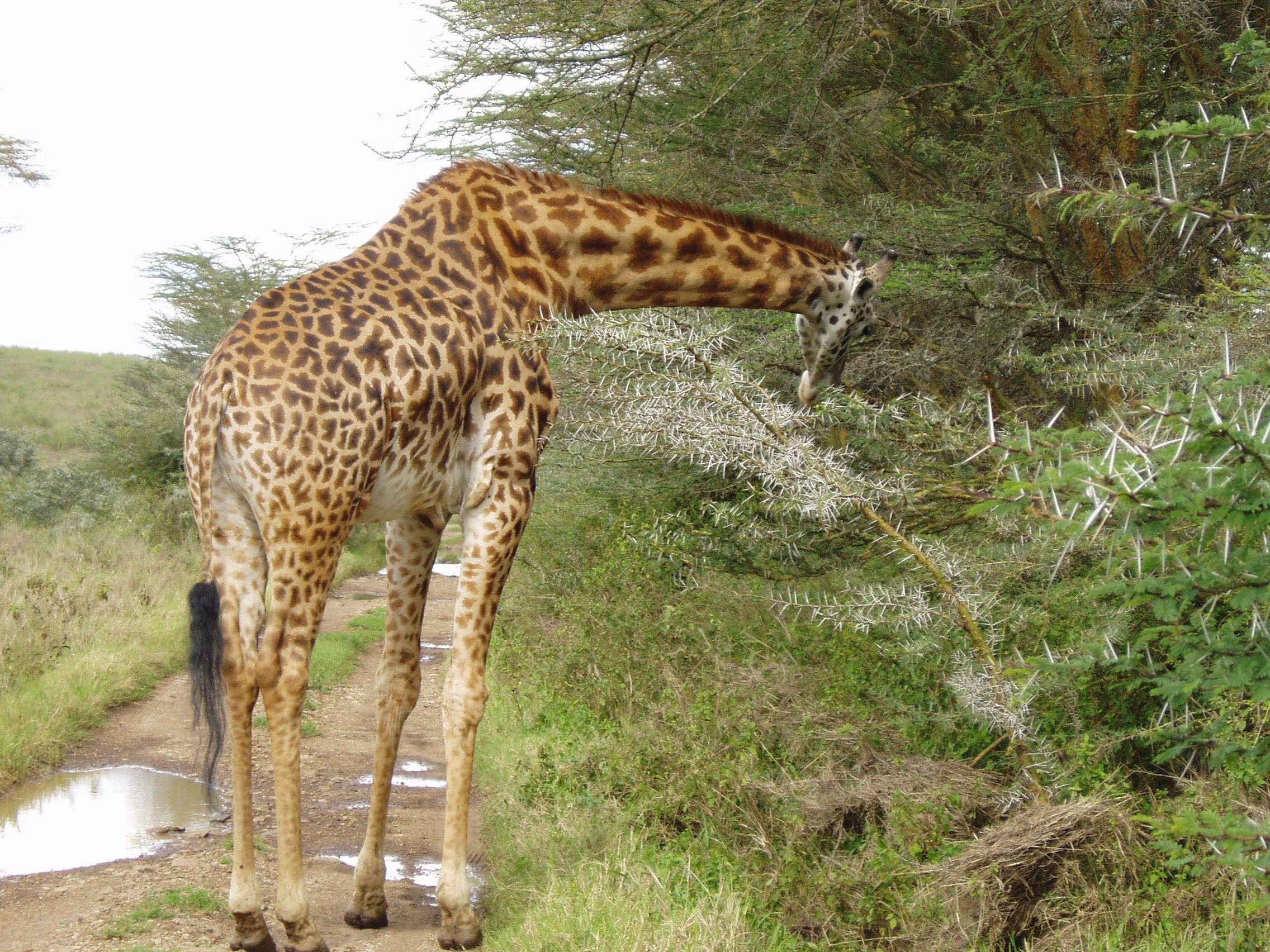 Giraffe at Full Day Nairobi National Park