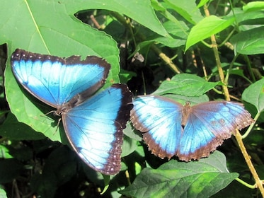Pair of lovely butterflies in Costa Rica