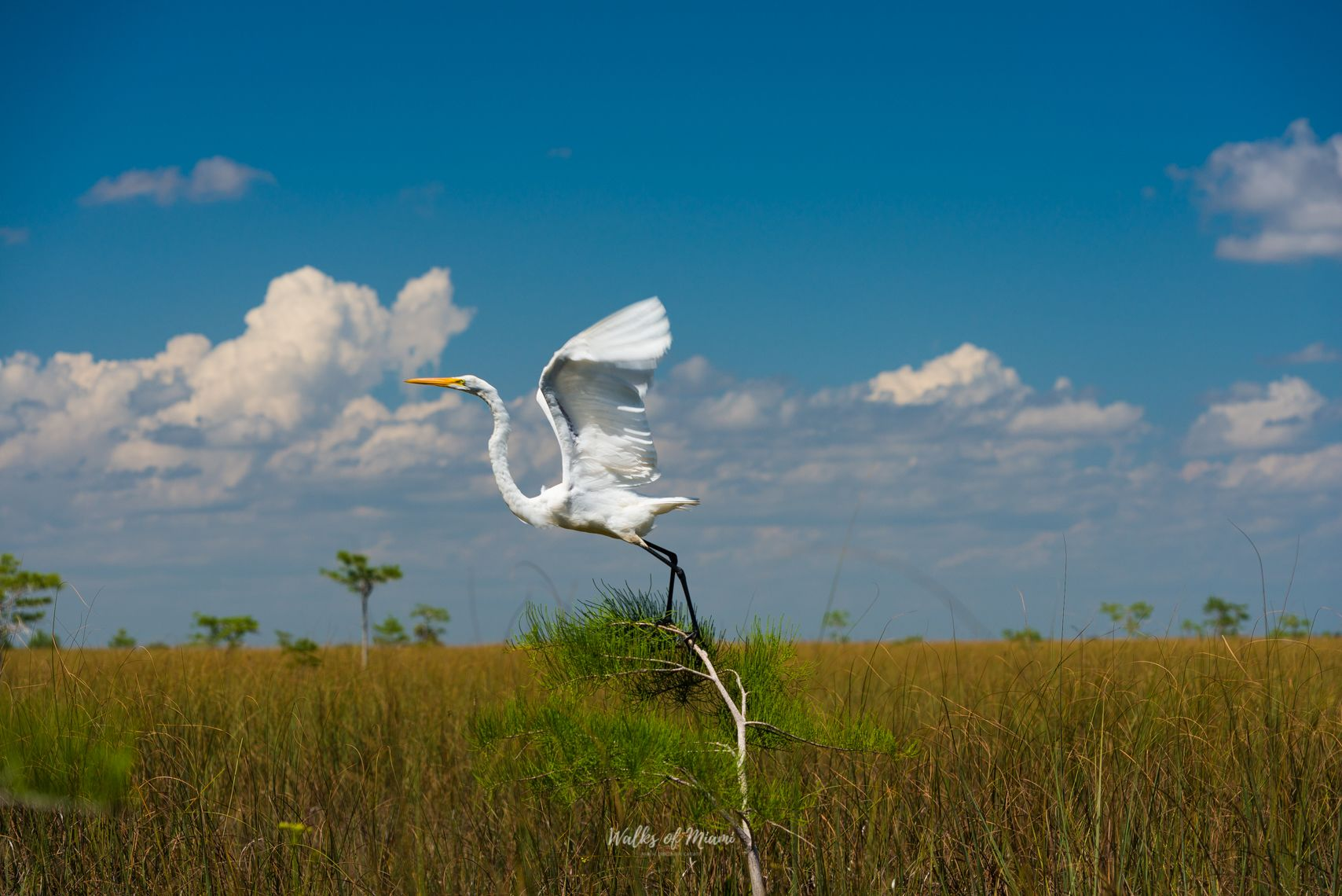Great Egret at Everglades National Park