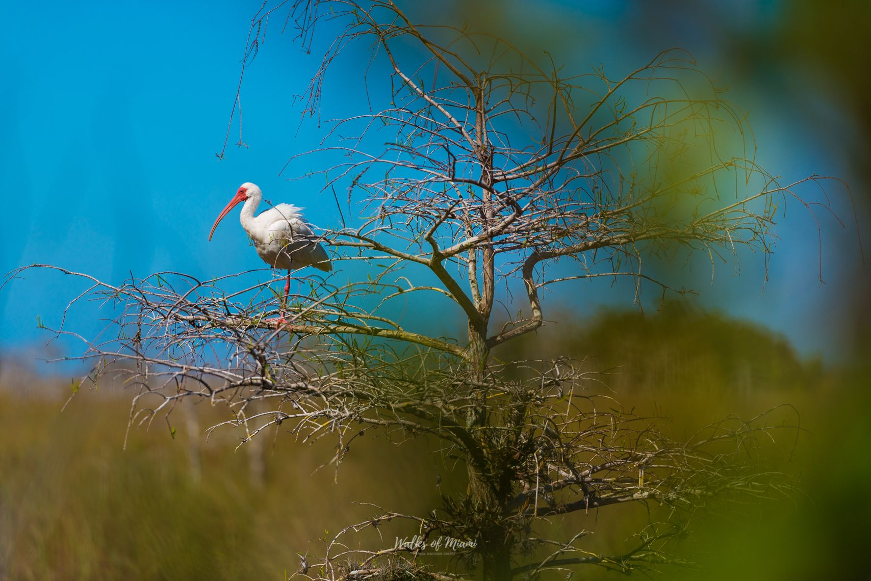 White stork sitting on a branch at Everglades National Park