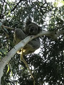 Koala seen on a tree