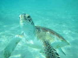 Barbados, Turtle, Tropical Fish & Snorkel Tour with Lunch