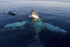 Whale Shark & Humpback Whale Eco Tour