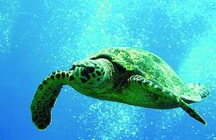 Waikiki - Guaranteed Turtles Snorkel Sail