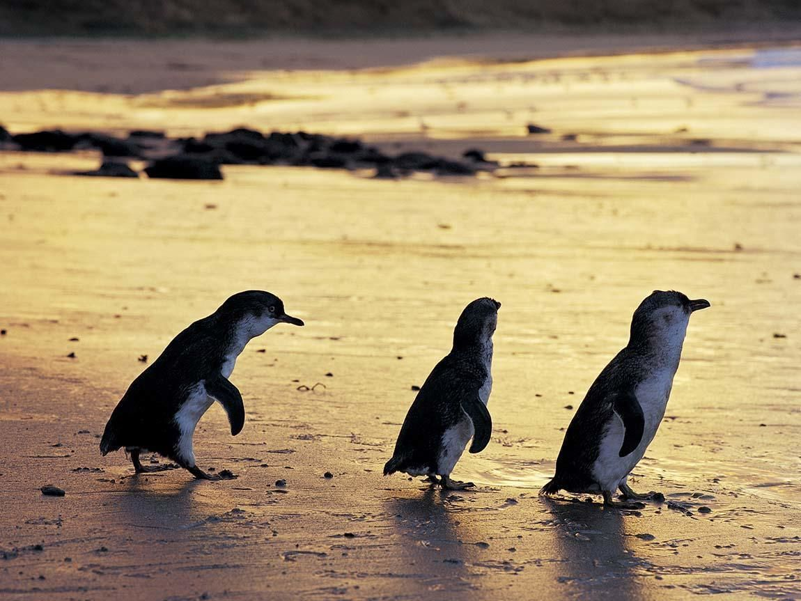 Penguins in Australia