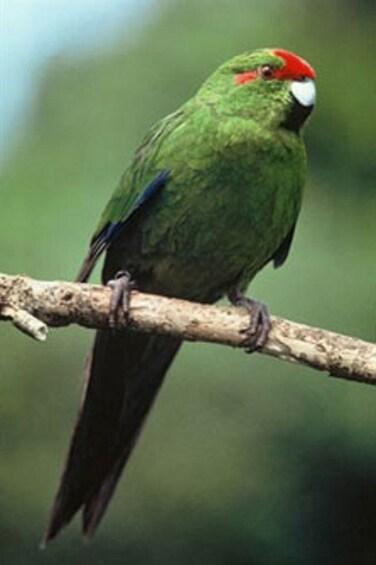 Show item 3 of 6. Native bird in Wellington, New Zealand