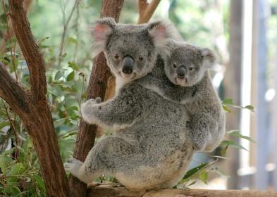 koala10.jpg