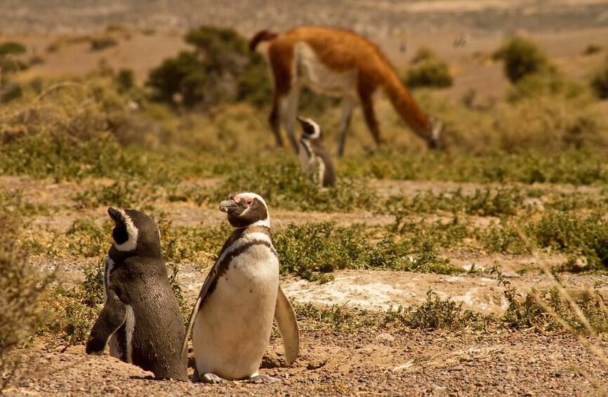 Show item 9 of 9. Magellanic penguins in Punta Tombo